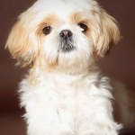 Shih Tzu Names Adorable To Awesome Ideas For Naming Your Puppy