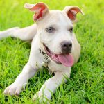 Blue Nose Pitbull Facts Fun Pros And Cons Of A Blue Nosed Pup