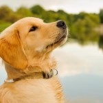 Best Food For Golden Retriever Puppy Dogs Top Tips And Reviews