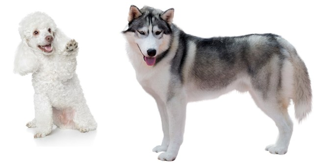 husky poodle mix - a complete guide to a fascinating cross
