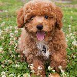 Bichon Poodle Mix The Bich Poo Teddy Bear Puppy