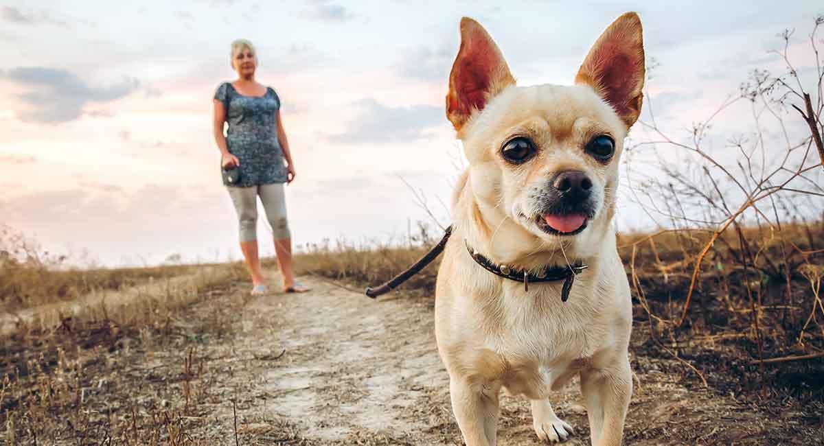 How To Train A Chihuahua - Expert Chihuahua Training Guides