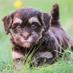 Havanese Dog Breed Information Center A Guide To A Pint Sized Pup