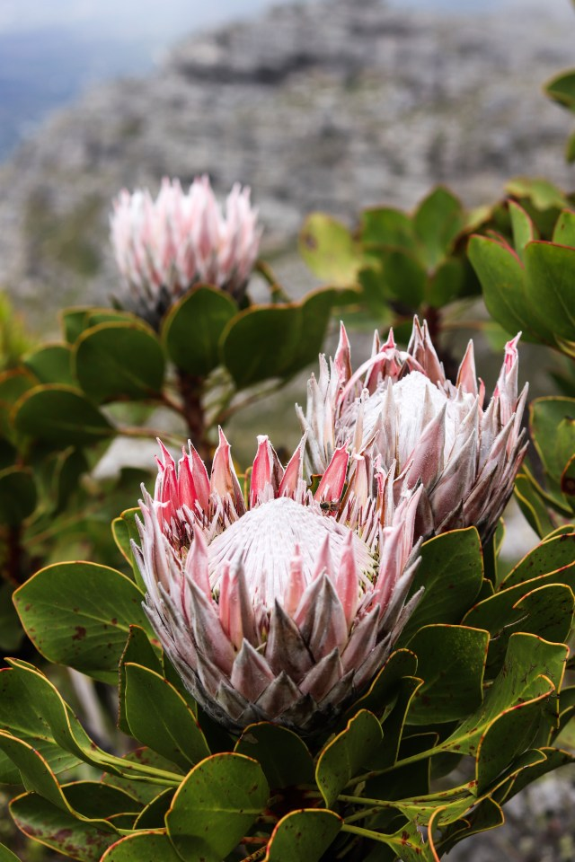 King Protea Table Mountain