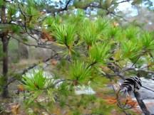 Lovely Evergreens