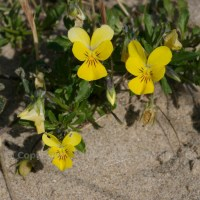 The wild pansy, or heartsease