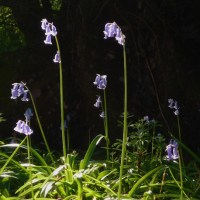 Bluebell enchantment