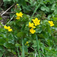 Marsh marigold:  the yellow plant of Beltane