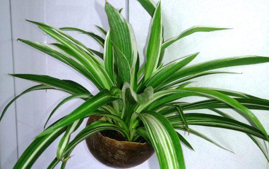 spider houseplant image