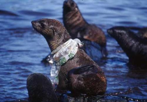 Seal strangled by plastic