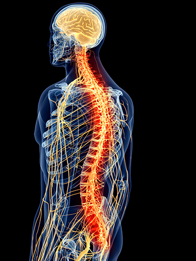 Chiropractic spine and nervous system