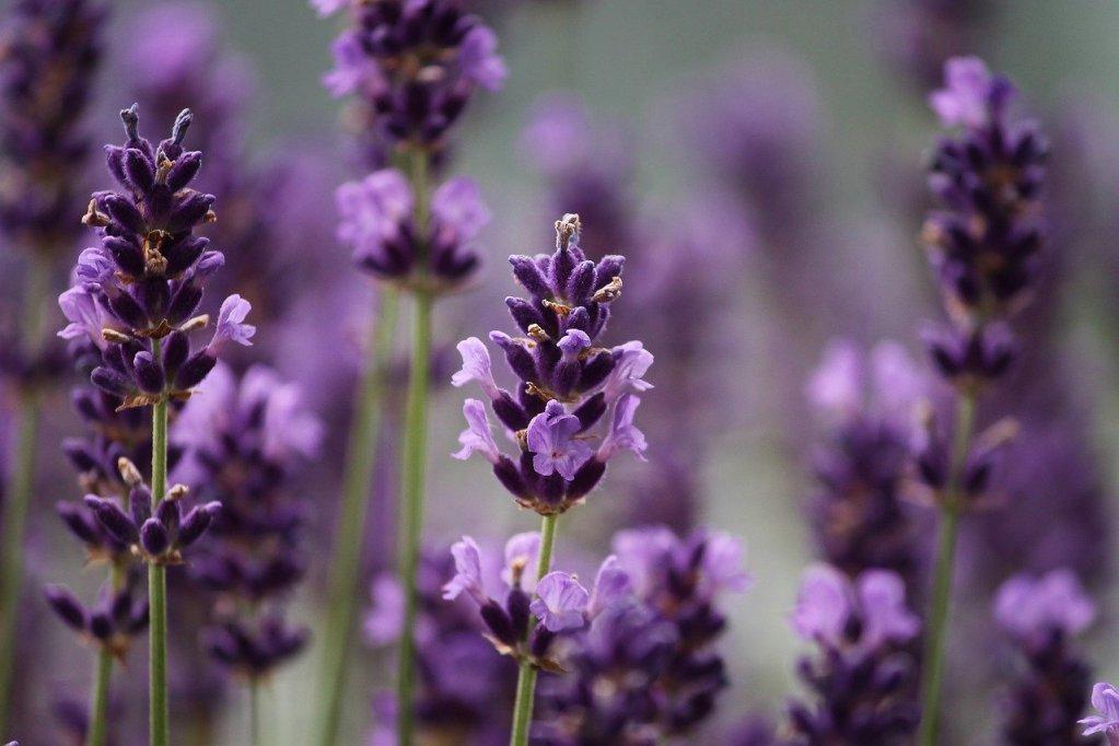 Levender puple bloom m medicinal plants uses