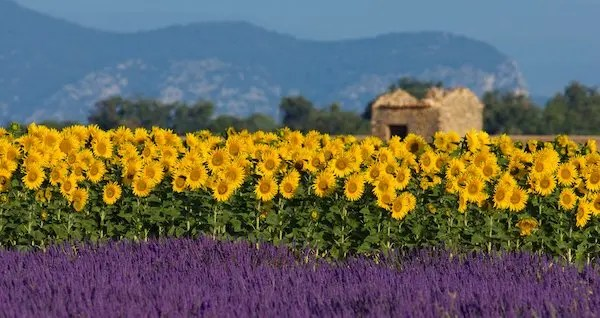 Image shows a typical colorful landscape in Provence, France. A sunflower field is combined with a lavender field in the foreground and a neglected barn in the background.