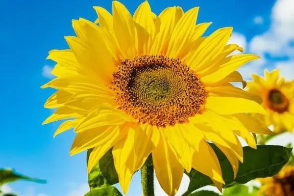 sunflower and sunflower seeds