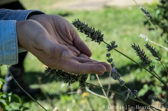 Il Corno, Lavender Part II