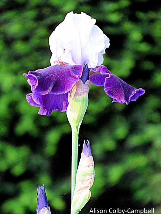 IMG_9691 Haverhill Iris Post