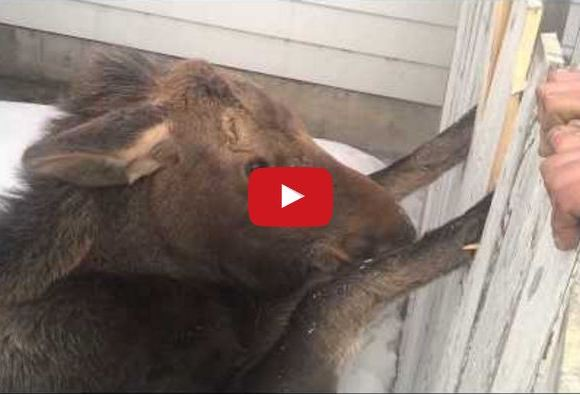 They Saw Two Hooves Trapped In A Fence…Watch What Happens Next!