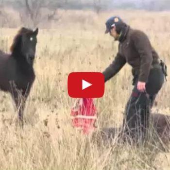 Wild Horse Found In Chains – Watch Him Thank His Savior