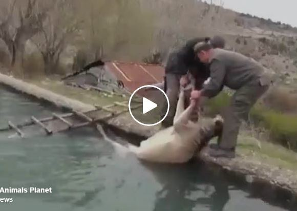 Deer Rescued From Drowning – What Happens Next Is Beautiful!