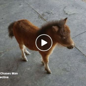 Baby Miniature Horse Will Melt Your Heart And Brighten Your Day
