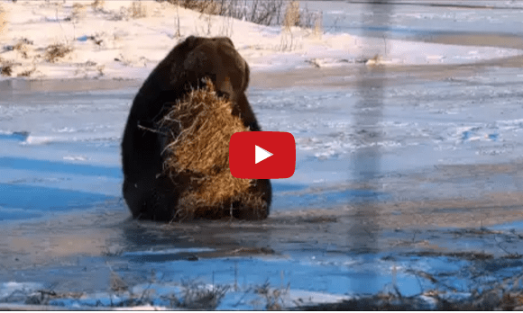 Bear Vs. Hay Bale – The Cutest Thing Ever!