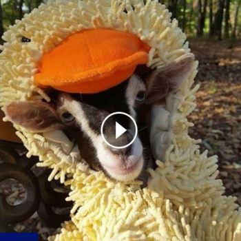 Blind Goat Wears Duck Costume Everywhere She Goes!
