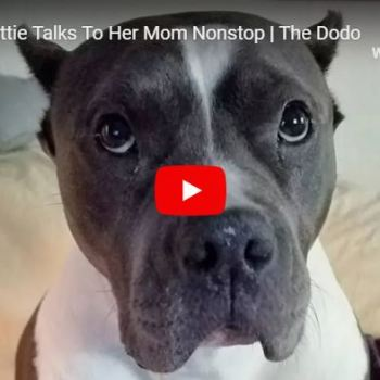 Rescue Pittie Loves To Talk To Her Mama!