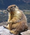 800px-Marmot-edit1 wikipedia GNU License