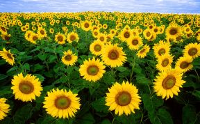 800px-Sunflowers Wikipedia Public Domain