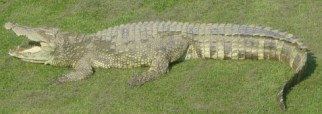 Siamese_Crocodile wikipedia Public Domain