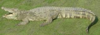 Siamese_Crocodile wikipedia Public Domain