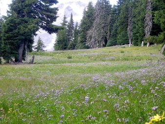 http://commons.wikimedia.org/wiki/File:Mount_Hood_timberline_alpine_meadow_in_bloom_P1709.jpeg