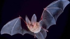 http://en.wikipedia.org/wiki/File:Big-eared-townsend-fledermaus.jpg