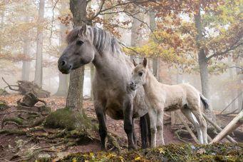 http://commons.wikimedia.org/wiki/File:Wildpferde_Tripsdrill.jpg
