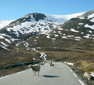 http://commons.wikimedia.org/wiki/File:Aurlandsveien_sheep.jpg