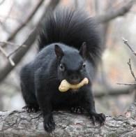https://commons.wikimedia.org/wiki/File:Eastern_Grey_Squirrel-black.jpg