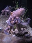 http://commons.wikimedia.org/wiki/File:Octopus_vulgaris_BCN_0219_Mustekala_C.JPG