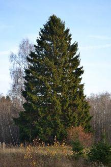 http://commons.wikimedia.org/wiki/File:Kuusk_Keila-Paldiski_rdt_%C3%A4%C3%A4res.jpg