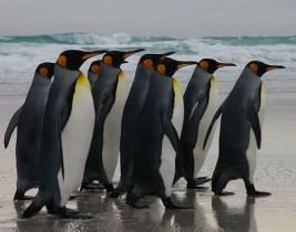 http://commons.wikimedia.org/wiki/File:Falkland_Islands_Penguins_03.jpg