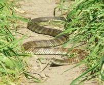 http://commons.wikimedia.org/wiki/File:Eastern_Tiger_Snake.jpg