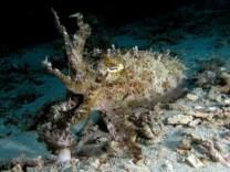http://commons.wikimedia.org/wiki/File:Cuttlefish_komodo.jpg