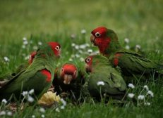 parrots watching eating apple - Wikimedia