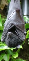 http://commons.wikimedia.org/wiki/File:Livingstone's_Fruit_Bat.jpg