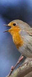 http://commons.wikimedia.org/wiki/File:Erithacus_rubecula_-Norway_-singing-8.jpg
