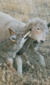 https://en.wikipedia.org/wiki/Coyote#/media/File:Coyote_with_typical_hold_on_lamb.jpg