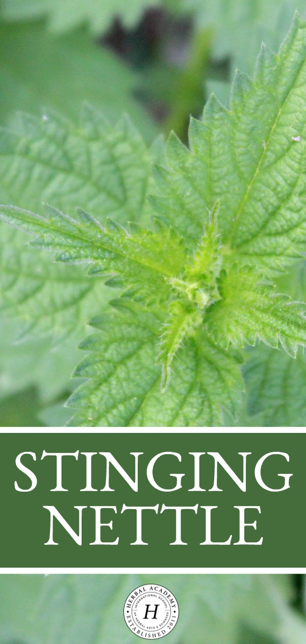 Stinging Nettle | Herbal Academy | Stinging nettle is an amazing superfood herb that is readily available during the spring and summer months. Learn how to use it in this post!