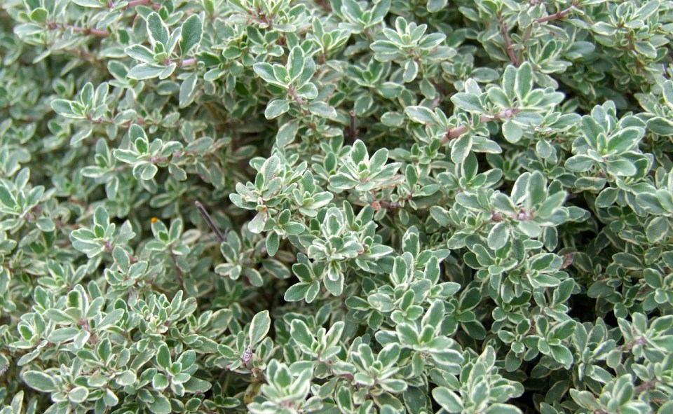 thyme-5 Kitchen Herbs for Cold and Flu