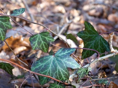 History and Uses of Common Ivy - a holiday plant