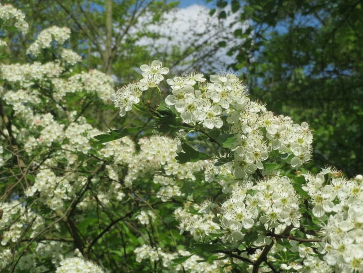 Herbs For Valentine's Day - Hawthorn
