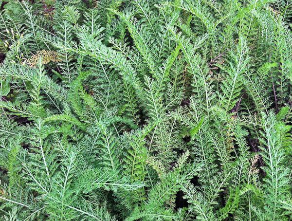 Learning Advanced Herbalism - Botanical Studies at Herbal Academy